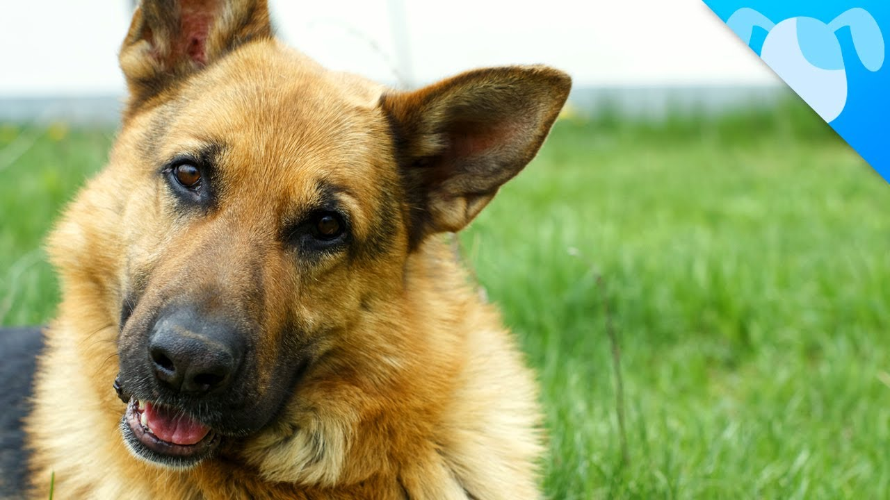 Everything You Need To Know About Owning A German Shepherd ...